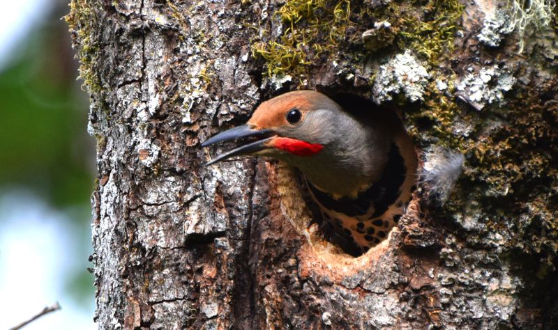 COURTESY PHOTO: CAROL ZYVATKAUSKAS - The Northern Flickers will tap on the metal towers above the Springwater Trail to communicate with one another.