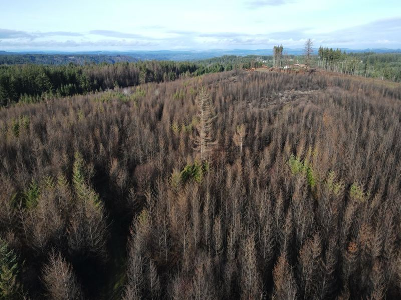 COURTESY PHOTO: PAUL CLEMENT  - Many trees on Paul Clement's Estacada property burned in the Riverside Fire.