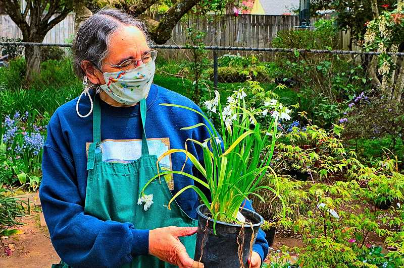 DAVID F. ASHTON - In her backyard showroom where she is hosting the 2021 Woodstock Community Plant Sale, Sandy Profeta examines an allium triquetrum – a bulbous flowering plant in the onion and garlic family.