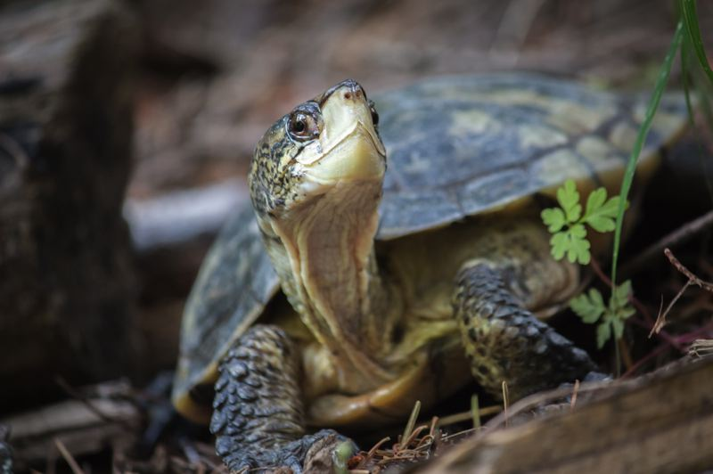 COURTESY PHOTO: KATHY STREET/THE OREGON ZOO - The Oregon Zoo Foundation is recruiting Yamhill County property owners to search for the northwestern pond turtle on their land.
