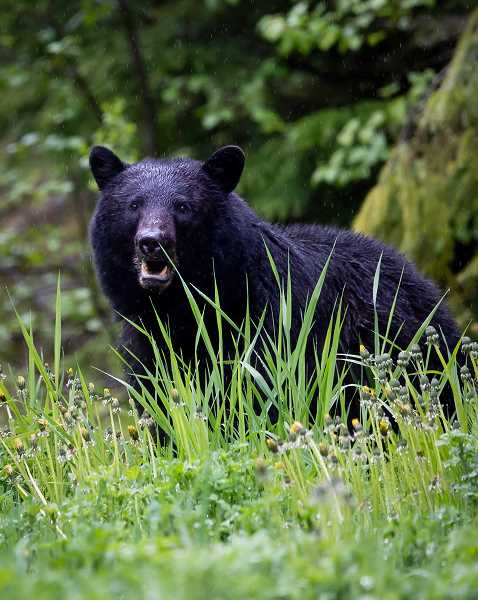 Bear possibly roaming in North Canby