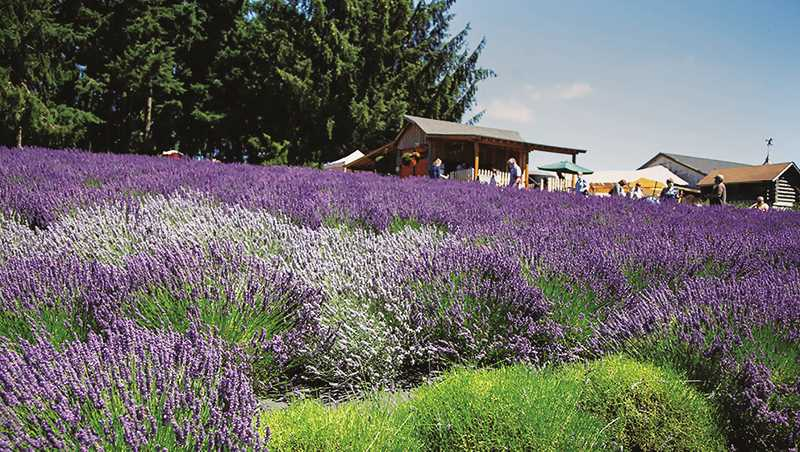 COURTESY PHOTO: TASTE NEWBERG - Adding to plans for the Willamette Valley Lavender Festival and Plein Air Art Show in July, Taste Newberg is also promoting the Newberg Lavender Trail, an online guide and map.