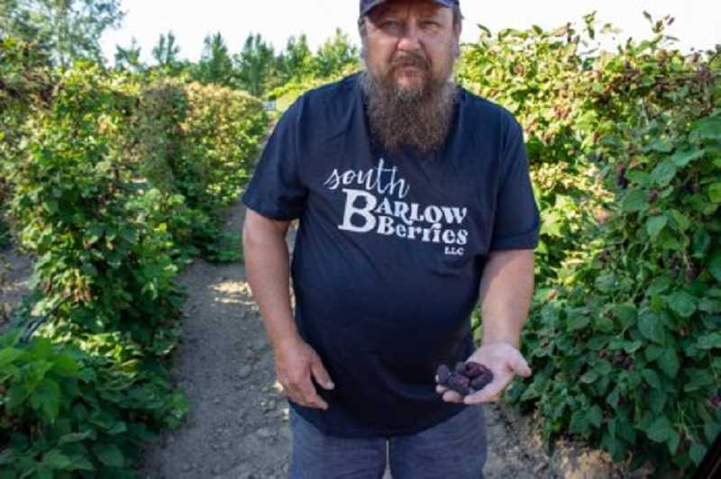 KOIN 6 PHOTO - Toni Martishev holds a handful of triple crown blackberries that were damaged from by the sun when the temperature at his farm, South Barlow Berries, climbed above 110 degrees. Photo taken June 29, 2021.