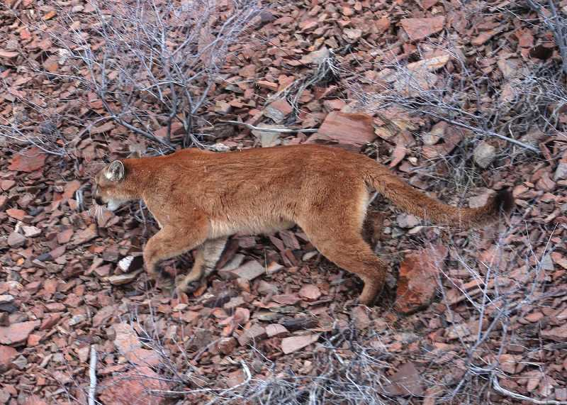 PMG FILE PHOTO - Cougars, like the one pictured here, live throughout Oregon, mostly in the Blue Mountains and Southwestern Cascades.