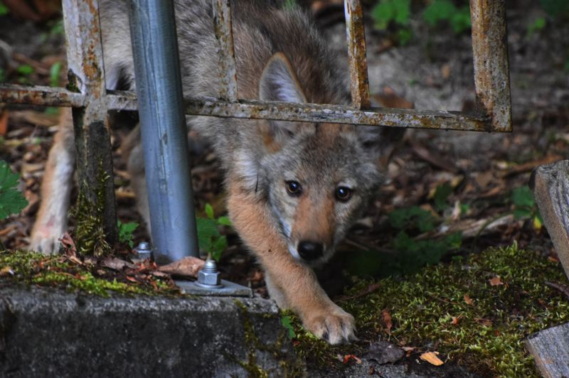 COURTESY PHOTO: CAROL ZYVATKAUSKAS - A coyote pup in the woods off the Gresham portion of the Springwater Trail.