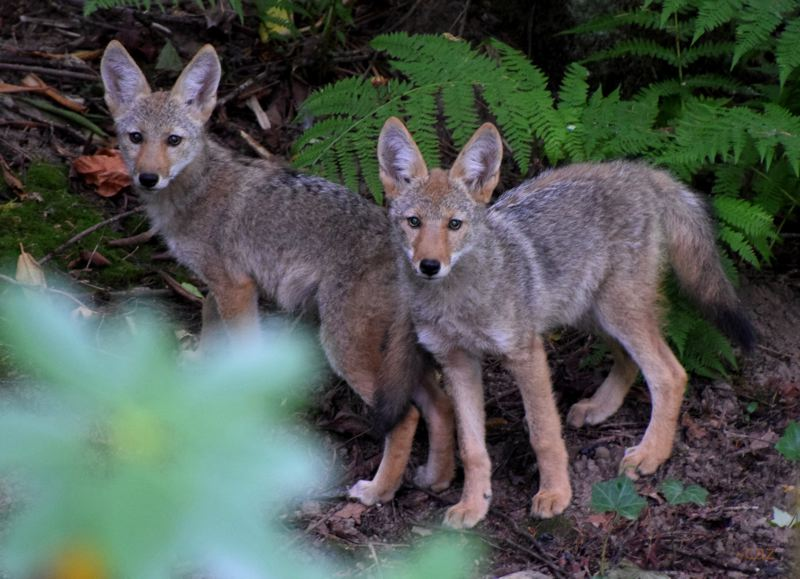 COURTESY PHOTO: CAROL ZYVATKAUSKAS - The coyote pups were so engaged in their play, they didnt notice the photographer taking their photo near her home in Gresham.