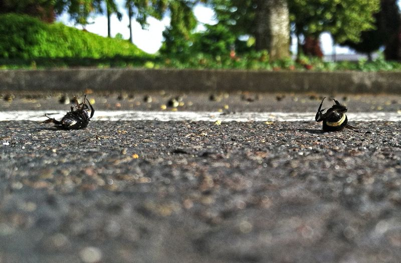 PMG FILE PHOTO - Tens of thousands of bees were found dead in a parking lot at Argyle Square in Wilsonville in 2013.