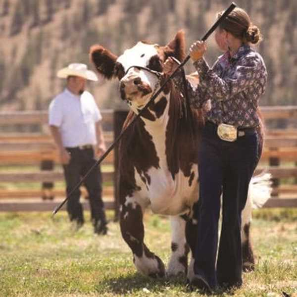 PHOTO SUBMITTED BY JEREMY MCLEAN  - Macee McLean shows her steer at the Jackpot event in 2020.