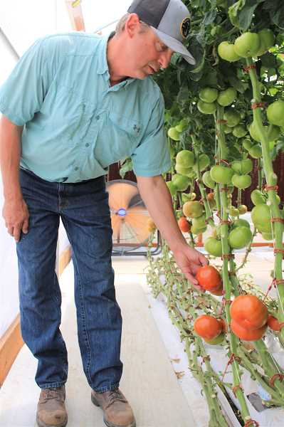 PAT KRUIS/MADRAS PIONEER  - Richard Avila grows tomatoes and lettuce on nothing but water and sunshine. During this drought, his hydroponic project accounts for half his income.