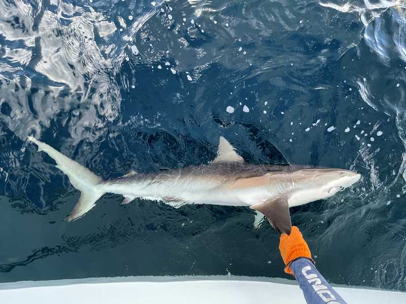 COURTESY PHOTO: LUKE OVGARD - This dude snapped Doms rod. It was my fault for not loosening the drag more given that it was facing away from the fish. This was the most beautiful shark Ive ever caught if thats any consolation.