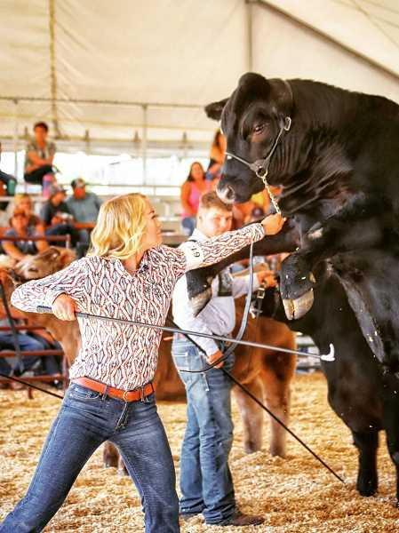 PHOTO BY EDWARD HEATH  - While the sight of a steer rising up might be concerning, handler Matty Buck didn't seem too concerned during Wednesday's showing at the Jefferson County Fair.