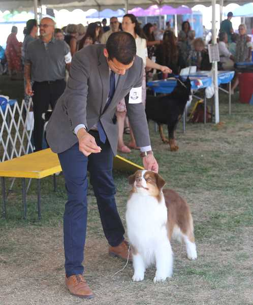 PMG PHOTO: JUSTIN MUCH - Focus is key: Rose City Classic 2021 dog show took place on the St. Paul Rodeo grounds July 28 through Aug. 1.