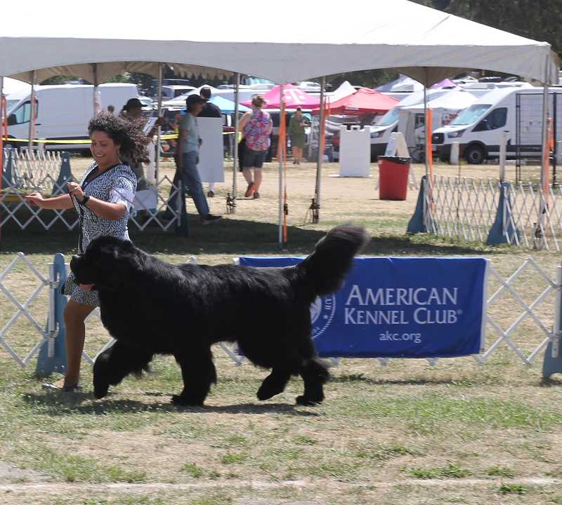 PMG PHOTO: JUSTIN MUCH - A walk in the park: Rose City Classic 2021 dog show took place on the St. Paul Rodeo grounds July 28 through Aug. 1.