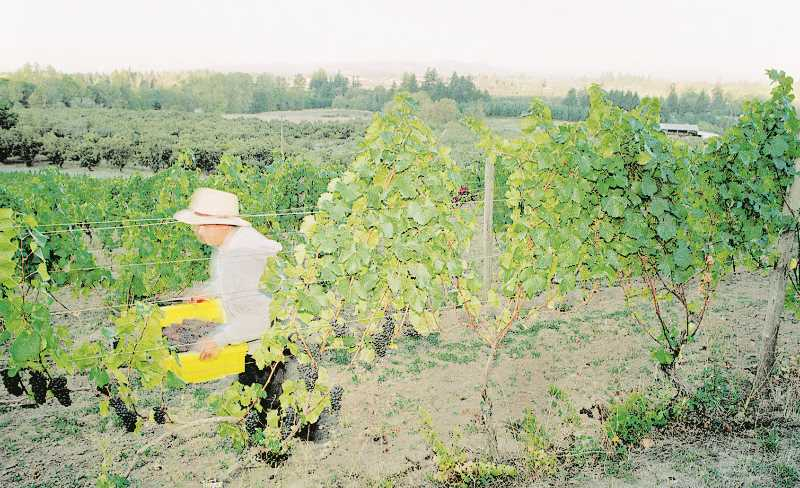 PMG FILE PHOTO - The seasonal workforce that descends on local wineries every year has begun this year's harvest under emergency workplace protections from excessive heat and wildfire smoke.