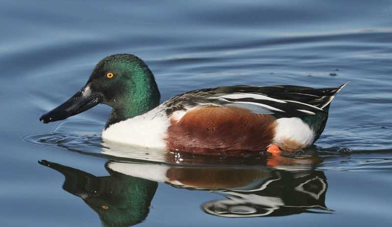 PHOTO SUBMITTED BY CHUCK GATES  - The northern shoveler is one of the many birds people can spot at the Wetlands.