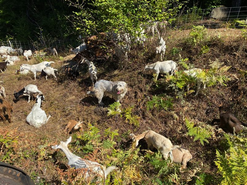 COURTESY PHOTO: PORTLAND GENERAL ELECTRIC - Goats from Healing Hooves are watched over by their watchdog, Gigi.