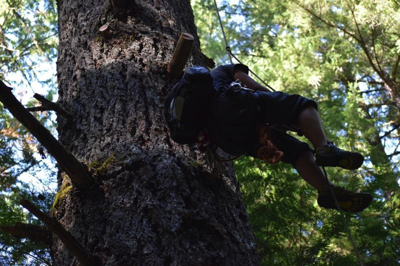 COURTESY PHOTO: CASCADIA FOREST DEFENSE - An activst with Cascadia Forest Defense climbs a tree in the Willamette National Forest as part of an occupation protest.