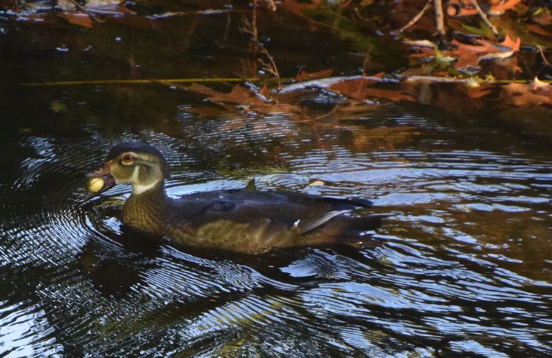 COURTESY PHOTO: CAROL ZYVATKAUSKAS  - A juvenile wood duck takes off with an acorn plucked out of Johnson Creek.