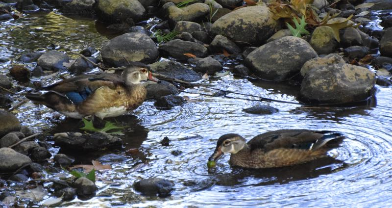 COURTESY PHOTO: CAROL ZYVATKAUSKAS  - Two young wood ducks enjoyed a banquet of acorns knocked into Johnson Creek by a squirrel Thursday morning, Sept. 16.