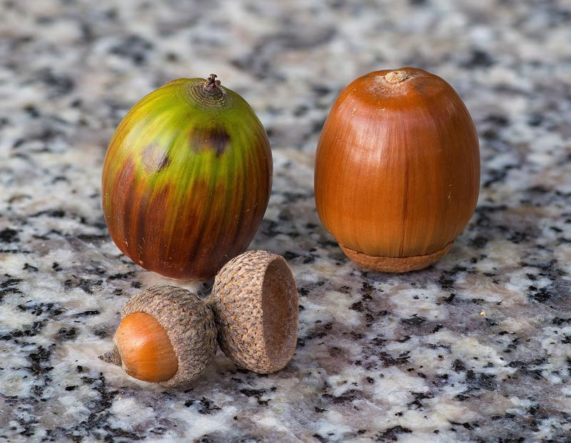 COURTESY PHOTO: LAITCHE — WIKIMEDIA COMMONS - Acorns are a popular meal for wildlife.