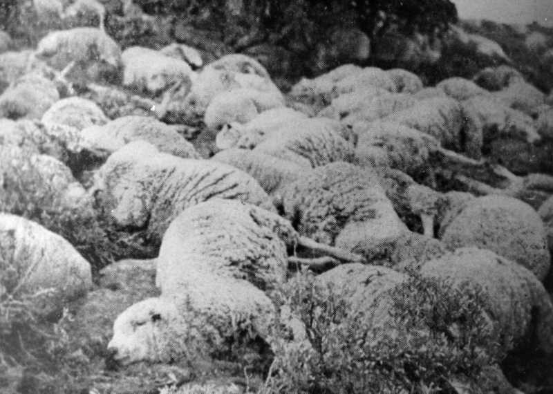 PHOTO COURTESY OF BOWMAN MUSEUM  - Sheep killed by the Sheep Shooters at Benjamin Lake cover the landscape.