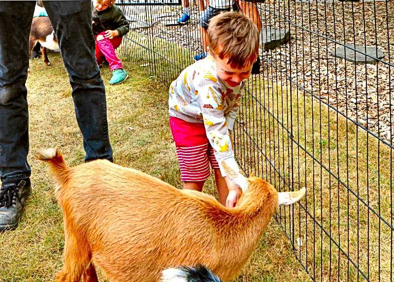 DAVID F. ASHTON - At the All Saints Episcopal Church public fair in Woodstock, Elias Sehorn stepped up to feed a baby goat at the petting zoo.