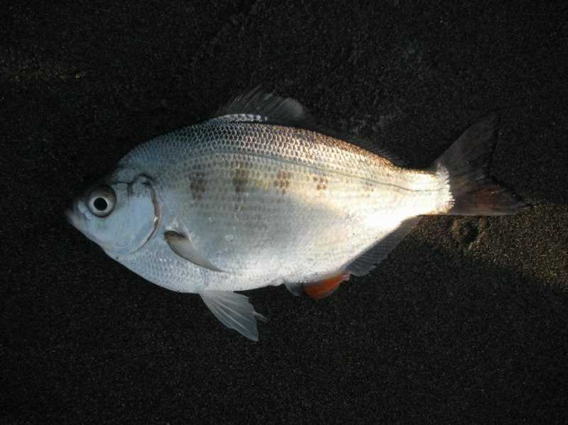 COURTESY PHOTO: LUKE OVGARD - The silver surfperch looks similar to the walleye surfperch more commonly found in California, but the silver will have light-colored pelvic fins, while a walleyes are black.