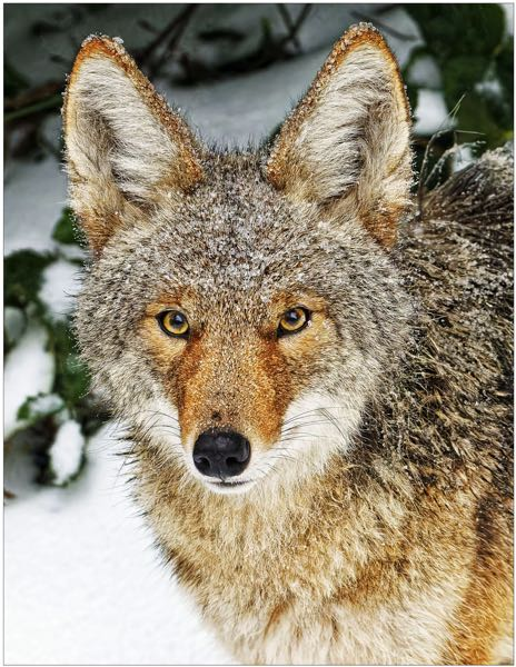 """COURTESY PHOTO - """"Coyote"""" is one of four photos people can vote on in the plant and wildlife category for the photo contest. There are  many other categories as well."""