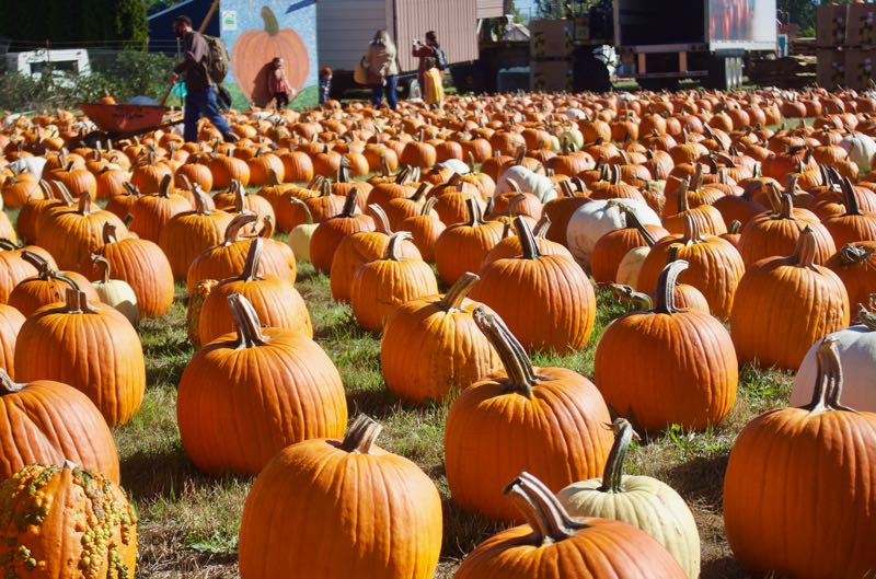 PMG PHOTO: CHRISTOPHER KEIZUR - Pumpkins can be purchased at Liepold Farms through the end of October.