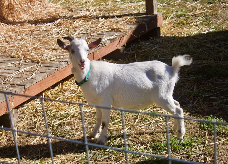 PMG PHOTO: CHRISTOPHER KEIZUR - Three miniature Nigerian goats now reside at Liepold Farms.
