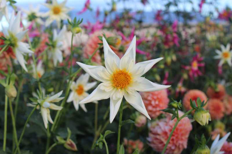 PMG PHOTO: KRISTEN WOHLERS - Mark and Laura Oldenkamp grow about 400 varieties of dahlias in their local garden.