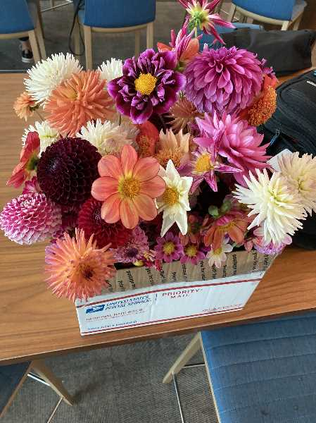 COURTESY PHOTO: MARK OLDENKAMP - Mark and Laura Oldenkamp transported this box of about 100 dahlia blooms from Canby to Ohio for national competition.