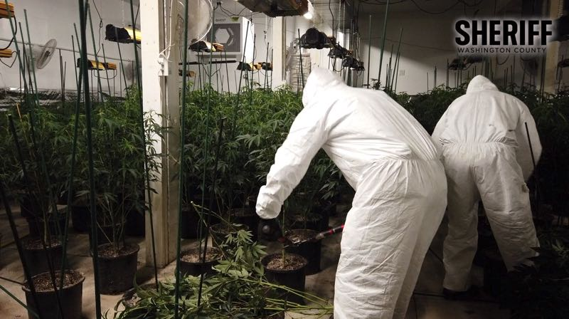 COURTESY PHOTO: WASHINGTON COUNTY SHERIFF'S OFFICE - Law enforcement officials seized thousands of marijuana plants while executing a search warrant Sept. 22 at 13275 N.W. Jackson School Road in North Plains.