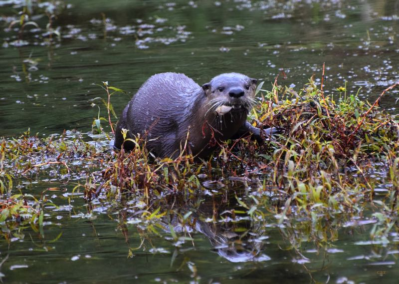 Otters chow down at creek's headwaters
