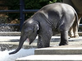 by: Jonathan House, Sam, the Oregon Zoo's most famous youngster, enjoys the zoo's water feature last Wednesday.