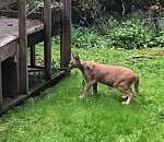 Is that a bobcat? PPB find caracal prowling NW Portland