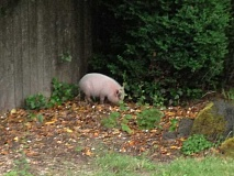 by: BILL ABADIE - This pig was having a good time rooting around until it was captured and placed behind bars after a squealing struggle. It is now safe and sound back home.