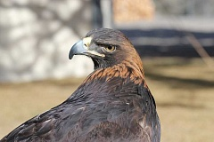 by: HOLLY M. GILL - Aquila, a blind golden eagle, was featured at last year's Eagle Watch.