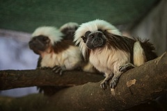 Photo Credit: OREGON ZOO/PHOTO BY MICHAEL DURHAM - Three surviving corron-top tamarin monkeys are now on dispaly at the Oregon Zoo.