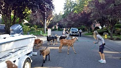 Photo Credit: SUBMITTED PHOTO: SYNDI MCIVER - Police had to reroute traffic on Childs Road near 35th Place because a herd of goats was running through the neighborhood.