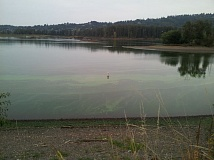 Photo Credit: COURTESY OREGON DEPARTMENT OF ENVIRONMENTAL QUALITY  - The blue-green algae spotted in the Willamette River is toxic to humans and pets, and should be carefully avoided, state health officials say.