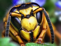 Photo Credit: CREATIVE COMMONS: WIKIPEDIA - Some people are allergic to the venom of yellow jackets, like this queen Southern yellow jacket, and stings can be deadly.
