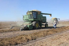 Photo Credit: SUSAN MATHENY/MADRAS PIONEER - Carrot seed harvest on Hickory Lane, north of Madras.