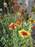 Photo Credit: SUBMITTED PHOTO - Gaillardia aristata is a native blanketflower that typically grows in clumps and is part of the sunflower family. It is one of 100 varieties of native plants featured in Saturday's sale.
