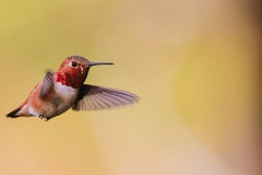 Photo Credit: PHOTO BY SCOTT CARPENTER, COURTESY OF AUDUBON SOCIETY OF PORTLAND  - The rufous hummingbird, which nests and breeds here in the summer and fall, may be a rarity in the Portland area as the climate warms, according to a new National Audubon Society study.