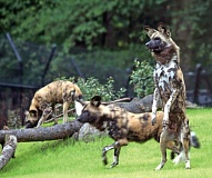 Photo Credit: COURTESY PHOTO: CARLI DAVIDSON - Wally, an African wild dog, practices his standup routine at the Oregon Zoo. On Saturday, the zoo will host an evening of comedy to benefit conservation of this and other endangered species.