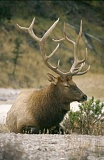 Photo Credit: SCOTT STAATS SPECIAL TO THE CENTRAL OREGONIAN - A bull elk rests in an open area.
