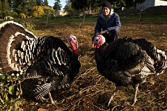 Photo Credit: TRIBUNE PHOTO: JAIME VALDEZ - Sara Cogan, farm manager at Zenger Farms, herds a flock of turkeys that just might be able to read her mind.