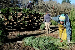 Photo Credit: GARY ALLEN - Market returns to normal - The overplanting of trees in the early 2000s has given away to more frugal yields the past three years, meaning the price per Christmas tree is better for growers in the state.