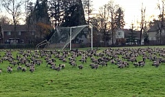 Photo Credit: HILLSBORO TRIBUNE PHOTO: KATHY FULLER - Hundreds of Canada geese flew in and took over the soccer fields at the north end of Hillsboros R.A. Brown Middle School last week. Huge flocks of the big geese were also spotted at Reedville Creek Park and on the Century High School baseball diamonds.